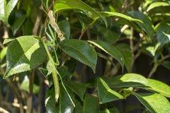 蜕变的绿色螳螂 库存照片