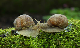 蜗牛亲吻 库存照片