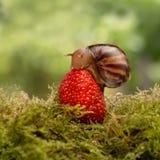 蜗牛吃坐草莓特写镜头的一个成熟红色莓果 库存照片