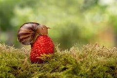 蜗牛吃坐草莓的一个成熟红色莓果 库存照片