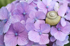 蜗牛和八仙花属 免版税图库摄影