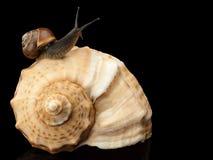 蜗牛和海扇壳 库存图片