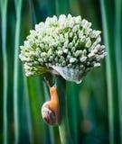 蜗牛和葱花 免版税库存图片