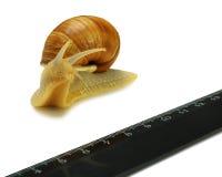 蜗牛和统治者 库存图片