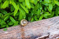 蜗牛在一个湿庭院里 库存照片