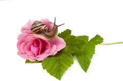 蜗牛在上升了 免版税库存照片