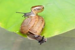 蜗牛在叶子 库存图片