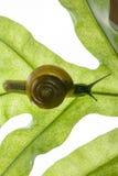 蜗牛在叶子 免版税库存图片