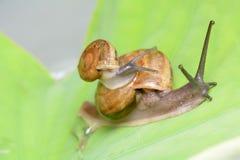蜗牛在叶子 库存照片
