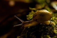 蜗牛在森林里 库存照片