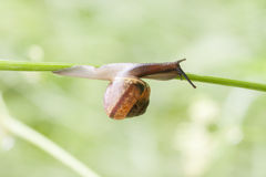 蜗牛在植物秸杆爬行 图库摄影