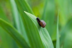 蜗牛在爬行在一片绿色叶子的庭院里 库存图片