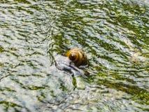 蜗牛在生苔池塘水中 库存图片