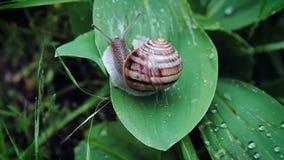 蜗牛在绿色叶子爬行 股票录像
