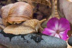 蜗牛坐温泉治疗的一块石头与一朵桃红色花 免版税库存图片