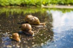 蜗牛奔跑,动物滑稽的概念斋戒竞争 免版税库存照片
