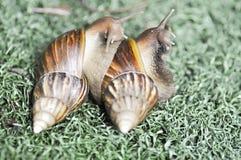 蜗牛或两只蜗牛 免版税图库摄影