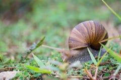 蜗牛是其中一个在土地居住的蜗牛种类 免版税图库摄影