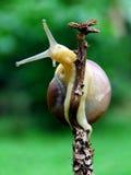 蜗牛有绿色背景 免版税库存照片