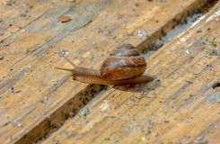 蜗牛横渡在老委员会的裂缝 库存图片