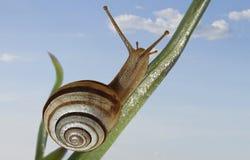 蜗牛横跨植物的茎爬行反对蓝天 库存图片