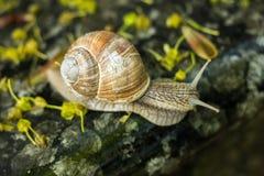 蜗牛沿花岗岩石头爬行 免版税库存图片