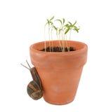 蜗牛爬行往嫩seedlin的一张花盆 免版税图库摄影