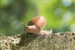 蜗牛爬行 库存图片