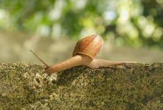 蜗牛爬行 免版税库存图片
