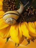蜗牛用向日葵 免版税库存照片