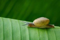 蜗牛的图象在一片绿色叶子的 爬行动物动物 库存照片