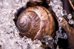 蜗牛的宏观射击,睡觉在雪 库存照片