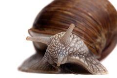 蜗牛纵向特写镜头 免版税库存照片