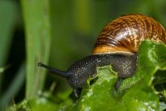蜗牛蓟 免版税库存照片