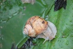 蜗牛藤 库存照片