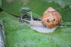 蜗牛藤 库存图片