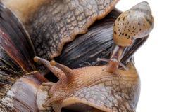 年轻蜗牛蜗牛宏指令 库存照片