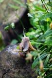 蜗牛螺旋pomatia 库存照片