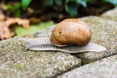蜗牛螺旋pomatia 图库摄影