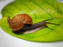 蜗牛褐色 图库摄影