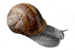 蜗牛酒 库存图片