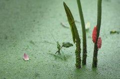 蜗牛鸡蛋和莲花的秘密 库存图片