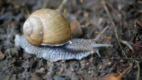 蜗牛,螺旋pomatia,与触手天线 股票录像