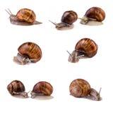 蜗牛,锅牛汇集 在白色背景(螺旋pomatia)隔绝的蜗牛 图库摄影