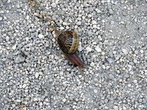 蜗牛-由壳包括的一个慢动物 库存图片