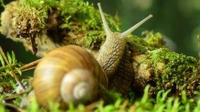 蜗牛 葡萄蜗牛在自然生态环境43 影视素材