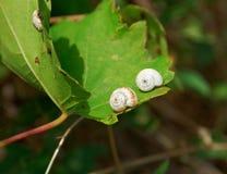 蜗牛[螺旋pomatia] 免版税库存图片