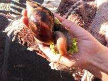 蜗牛Achatina骨顶属 免版税库存照片