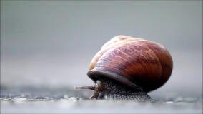蜗牛Arianta arbustorum慢慢地爬出它的壳 影视素材