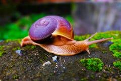 蜗牛Hemiplecta distincta 免版税图库摄影